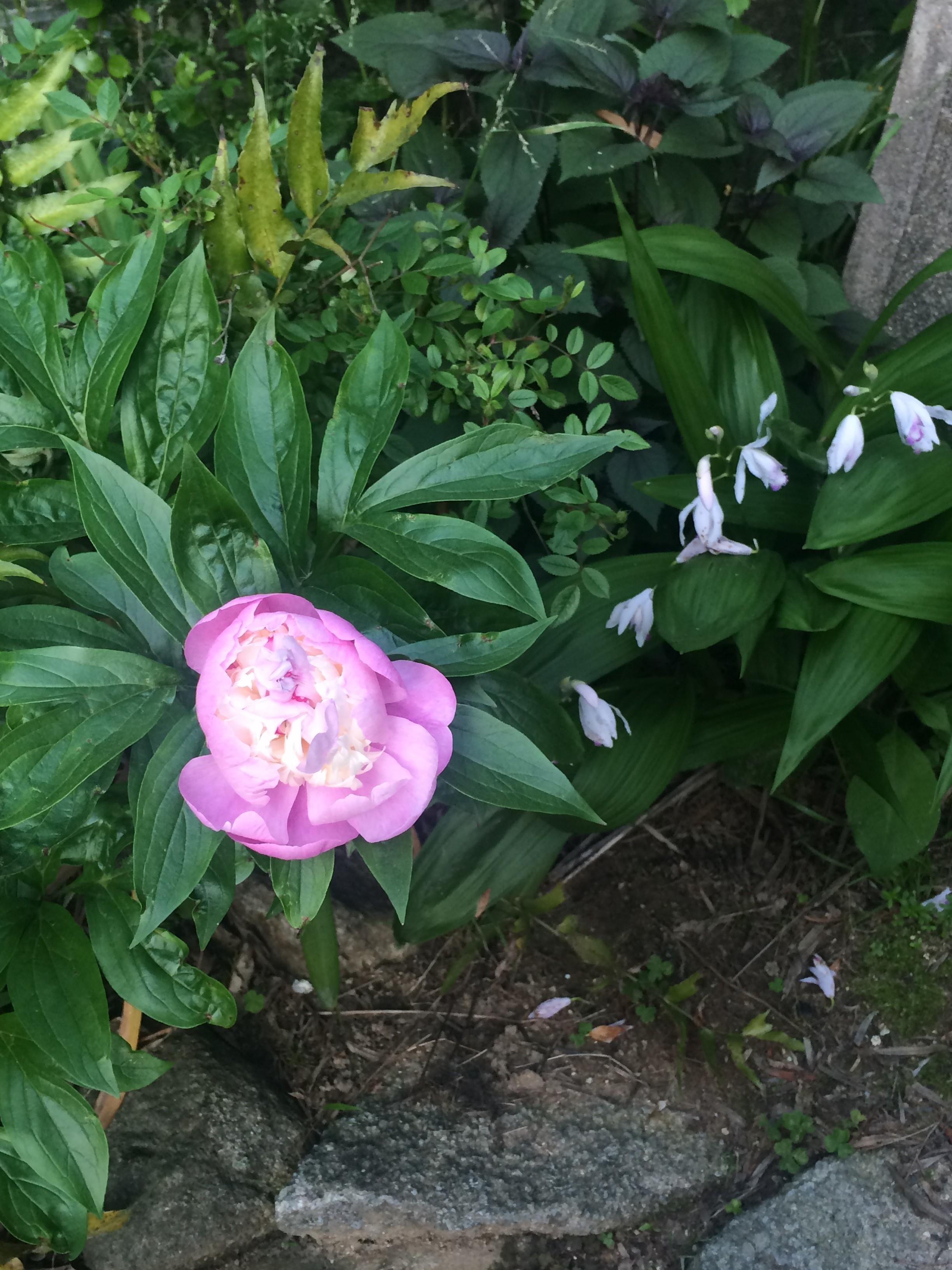 庭に咲く芍薬と紫蘭☆