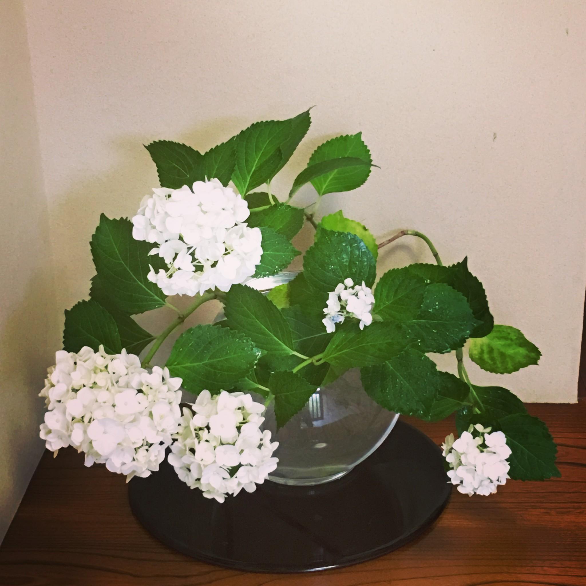 白の紫陽花☆
