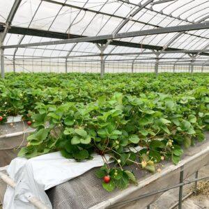 佐賀の減農薬苺